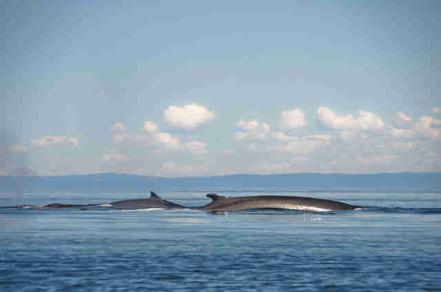 fin whale hunt iceland