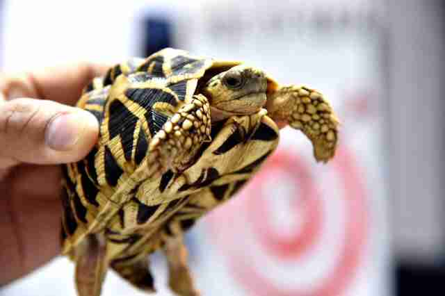 Suitcases seized in the Philippines with turtles inside