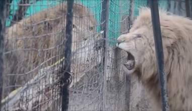 lion cage pen