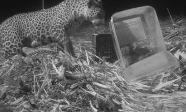 Leopard cub reuniting with mom in India