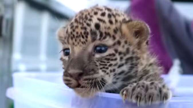 Mother leopard reuniting with lost cub in India