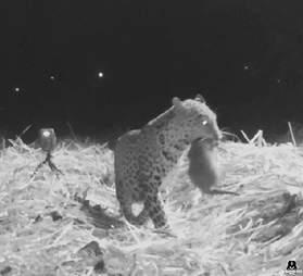 Leopard reunites with cub in India