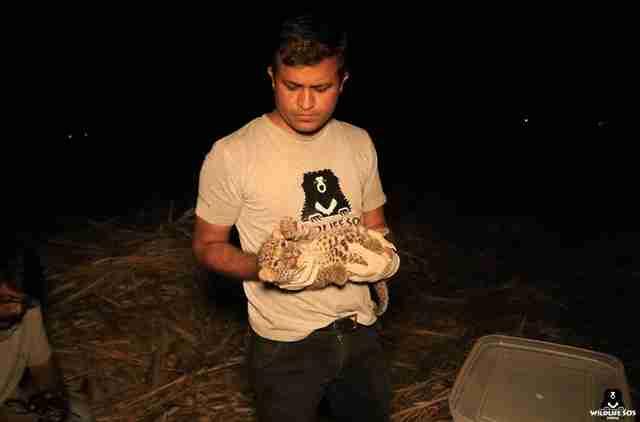 Leopard cub found in sugarcane field