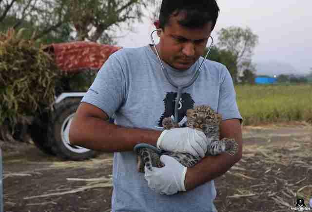 Leopard cub discovered alone in sugarcane field