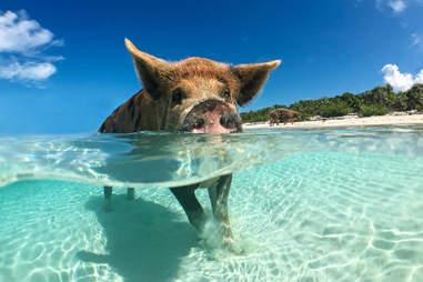 pig bahamas