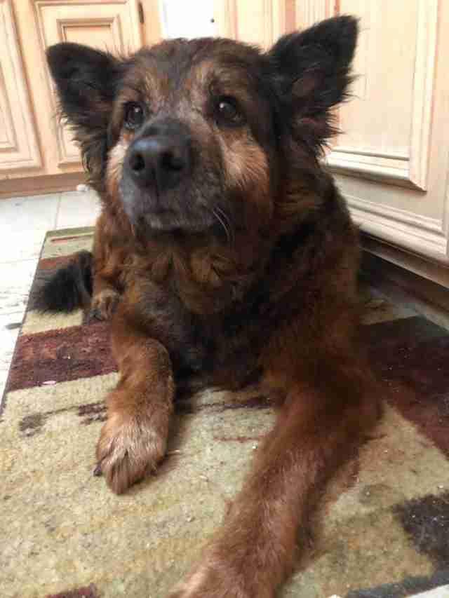 Honey the rescued senior dog at her forever home