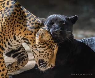 jaguar attack zoo