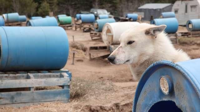 sled dog chocpaw