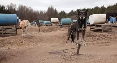 sled dogs chocpaw