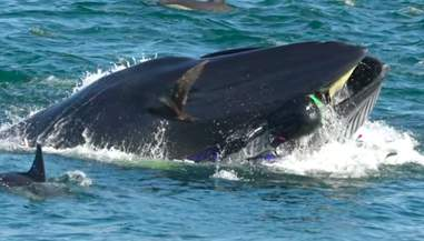 Diver in mouth of Bryde's whale in South Africa