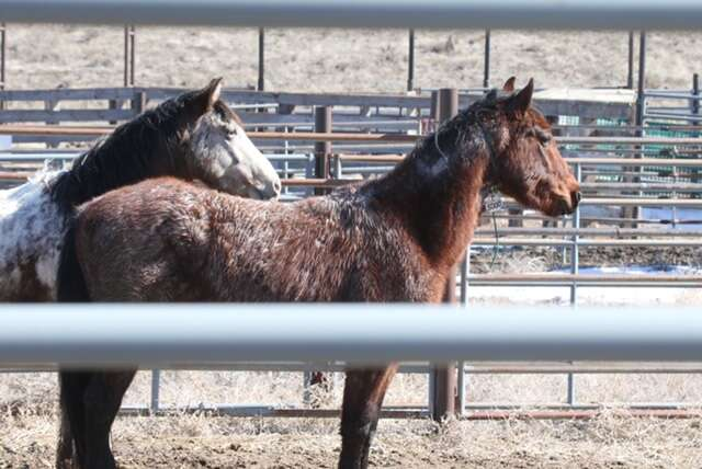 Wild horses captured by BLM