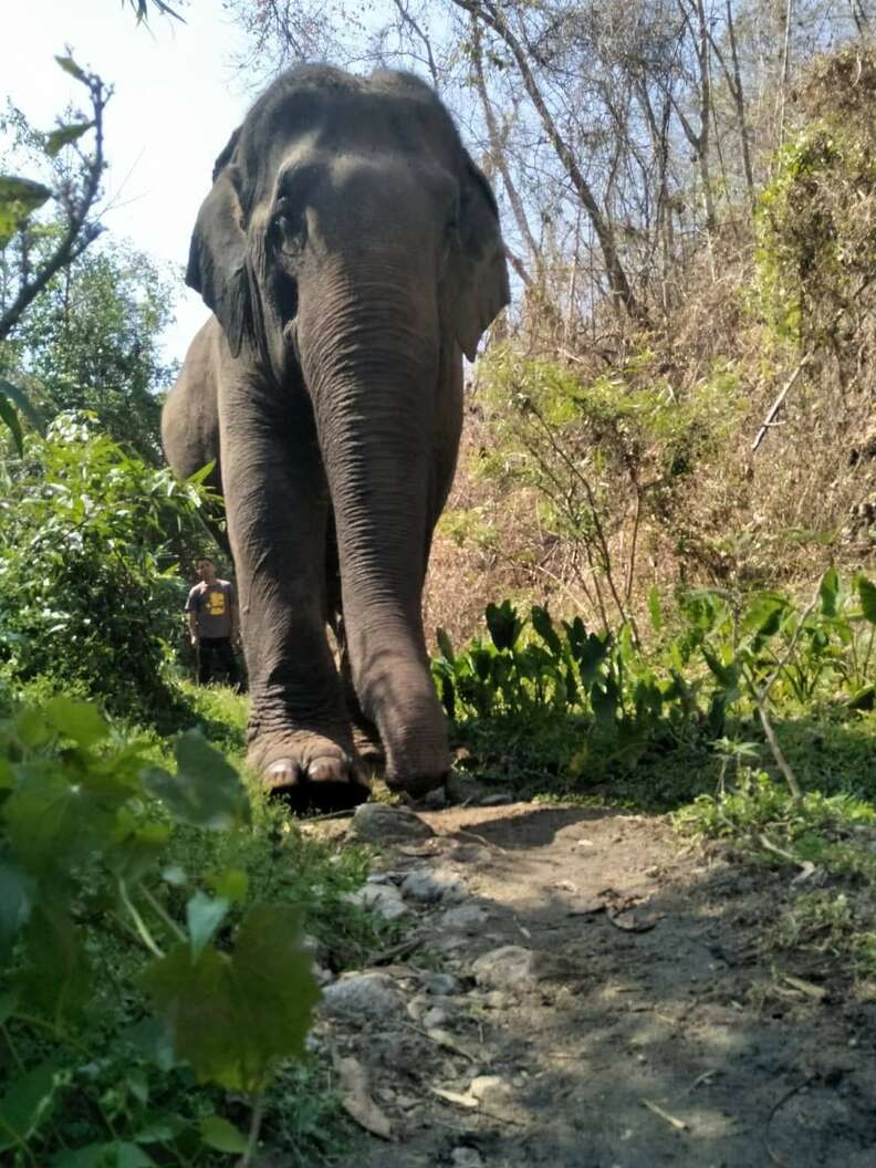 Retiring working elephant in Thailand