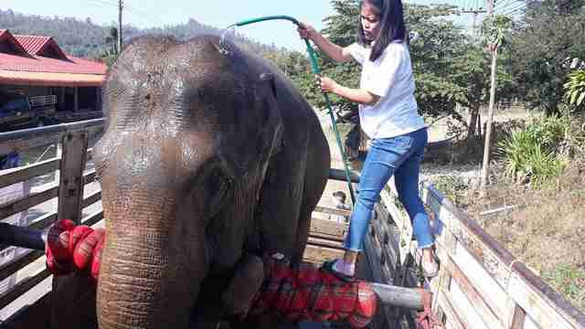 Retiring working elephant in Thailand