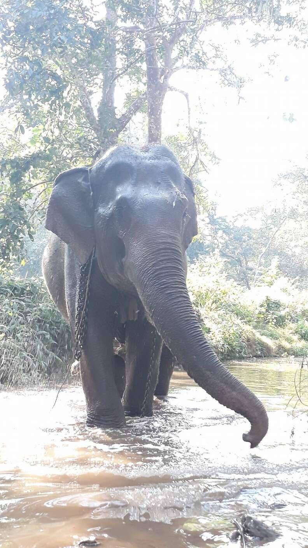 Elephant before retiring in Thailand
