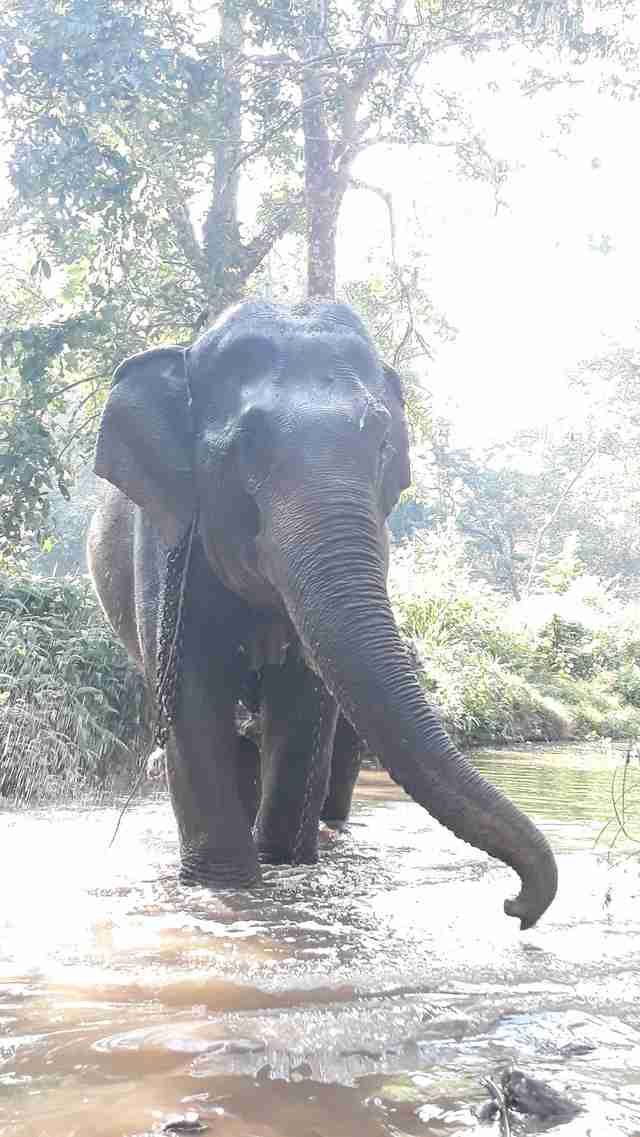Elephant before retiring in Thailand