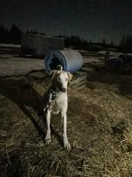 dog sled chocpaw canada ontario