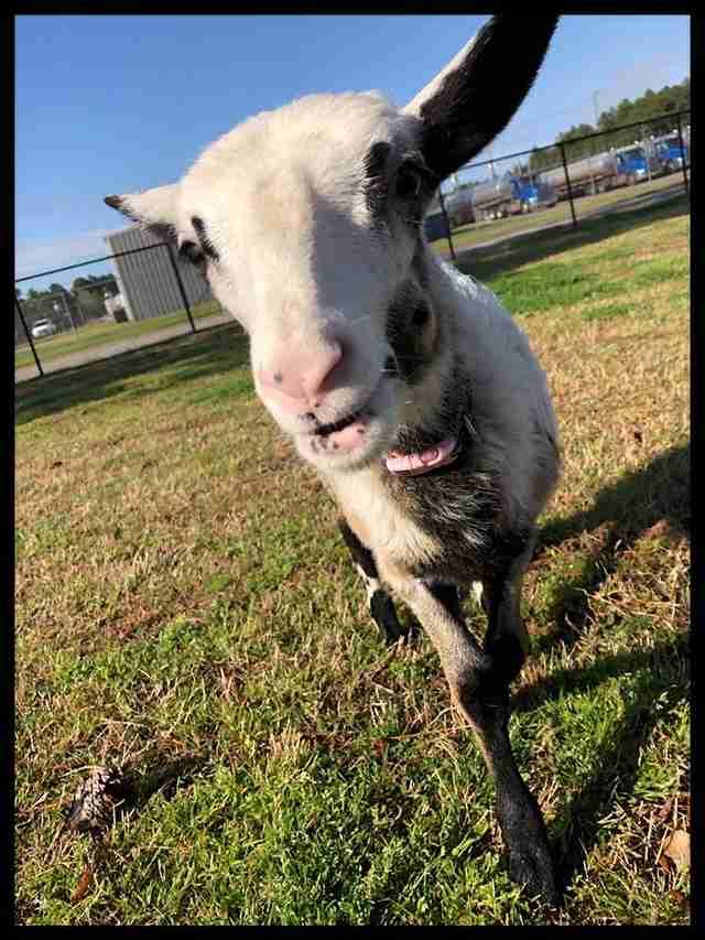 lamb dance vet
