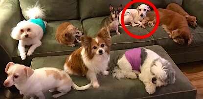 Puppy mill survivor poodle