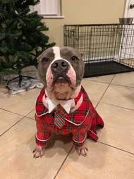 abused pit bull