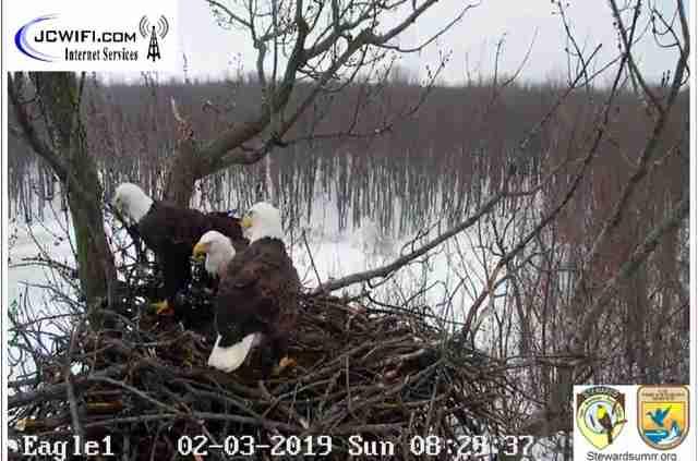 Bald eagle trio