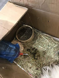 abandoned guinea pigs