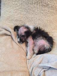 hairless puppy
