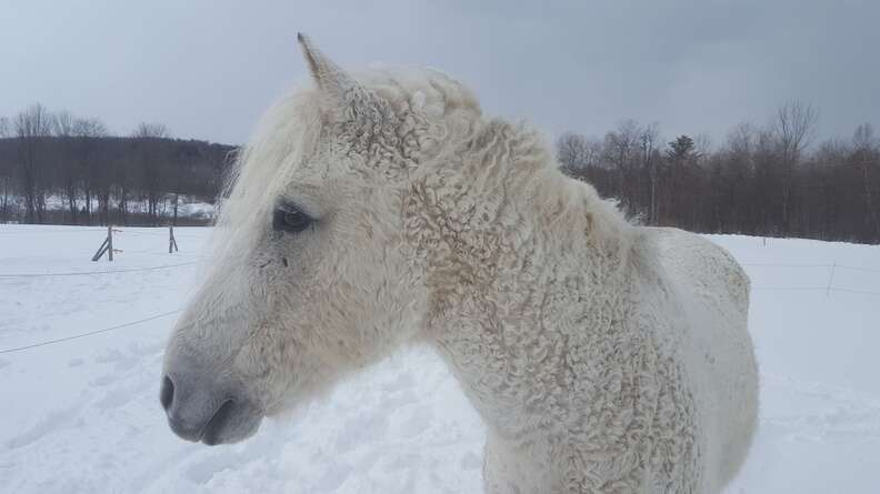 A white North American curly horse in the snow