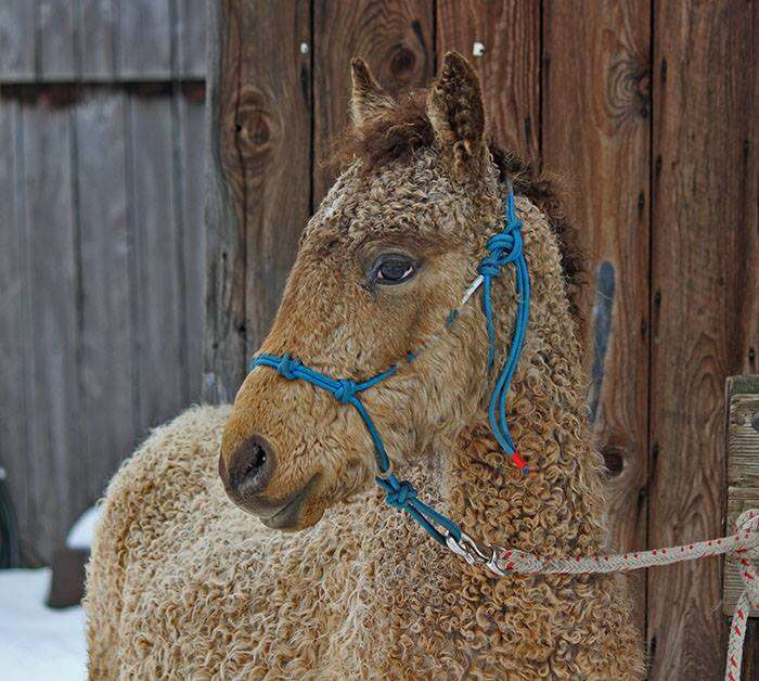 A horse with a curly coat