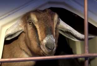 Goat Sworn in as Mayor of Vermont Town, Immediately Poops on Floor