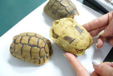 moroccan tortoise