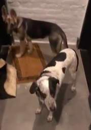 Dogs show up at guy's apartment door