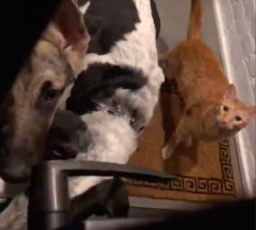 Cat and two dogs knock on apartment door
