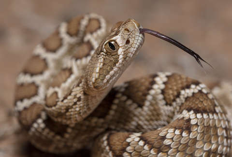 Snake Catcher Discovers 45 Rattlesnakes Under House in Texas
