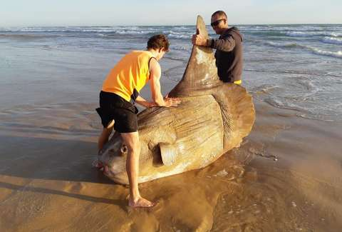 A Giant Fish That Weighs More Than a Car Washed Up on an Australian Beach