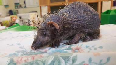 Hedgehog who lost his quills heals at rescue center