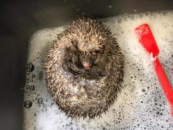 Bear the hedgehog regrows his quills