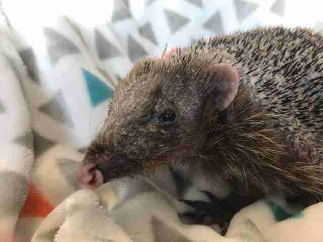 Bear the hedgehog grows spines back with massaging