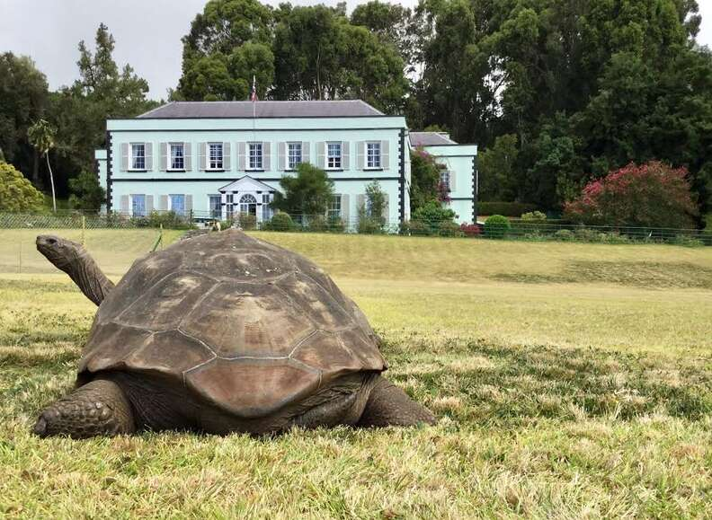 tortoise jonthan old