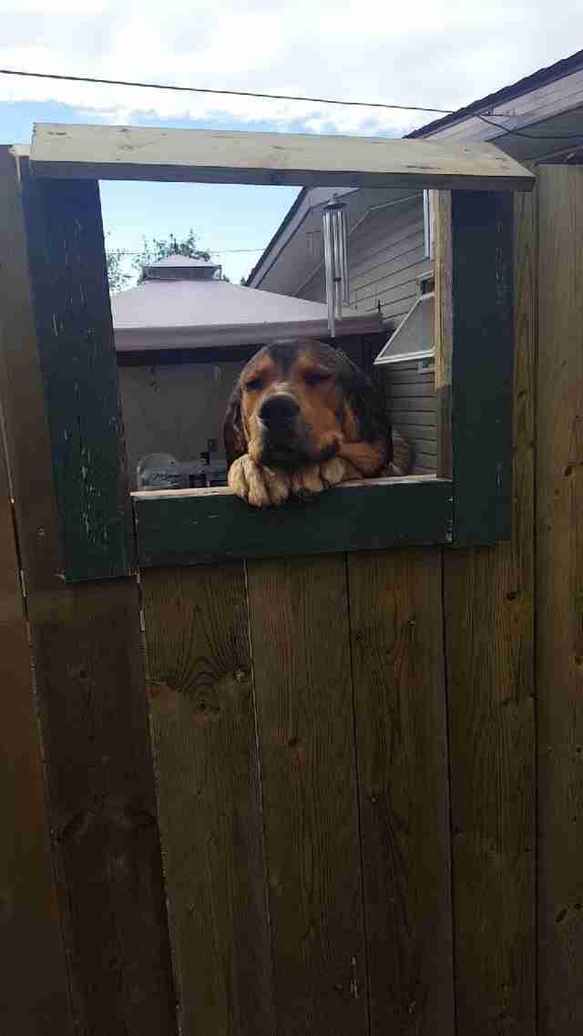 Jake the dog waits for pets at his fence window
