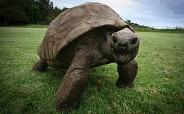 tortoise jonathan old