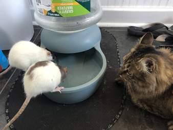 Cat watching pet rats
