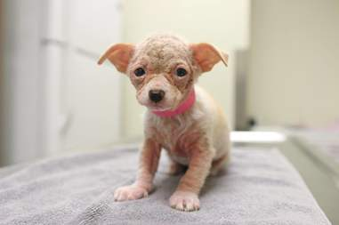 bald rescue puppy