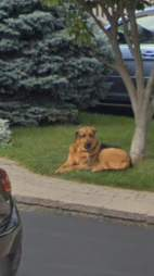 Legend the dog captured by Google Street View