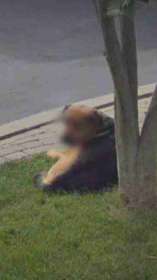 A dog with his face blurred on Google Street View