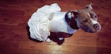 pit bull wedding dress