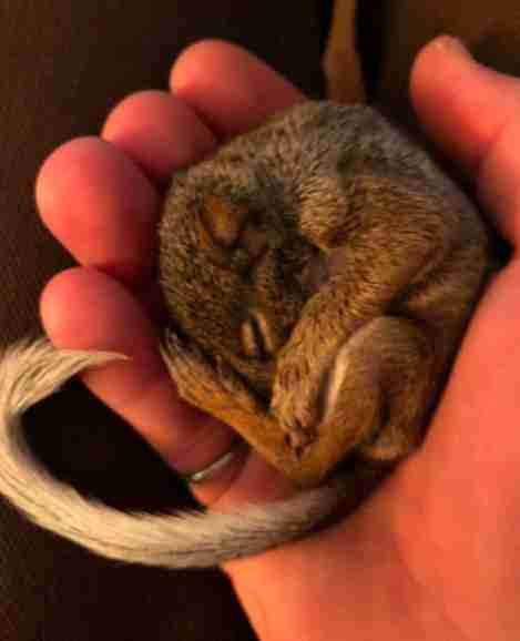 Baby squirrel Annie at her rescuer's house