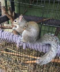 Wild rescue squirrel adjusts to life outside