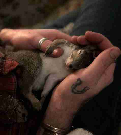 Annie the squirrel snuggles her rescuer