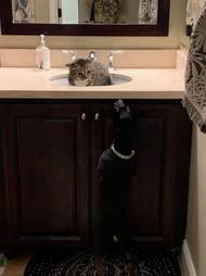 cat hides from dog in sink