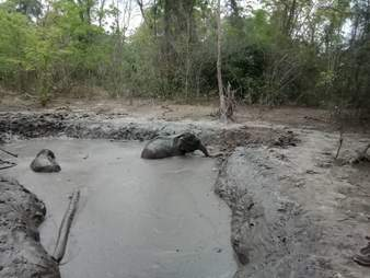 baby elephants stuck in mud